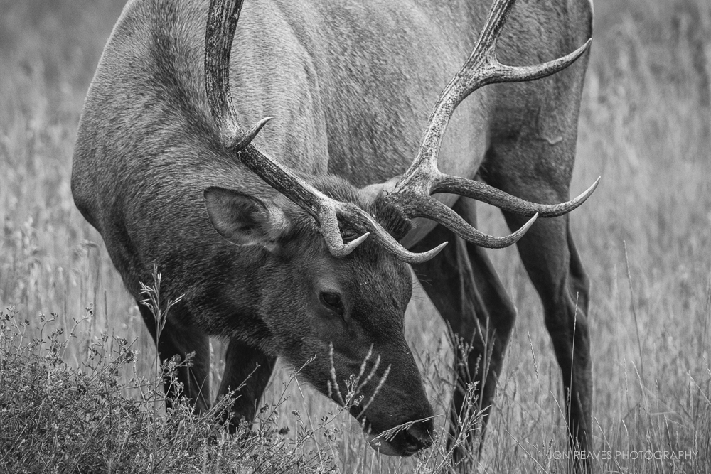 Elk grazing, Jasper National Park
