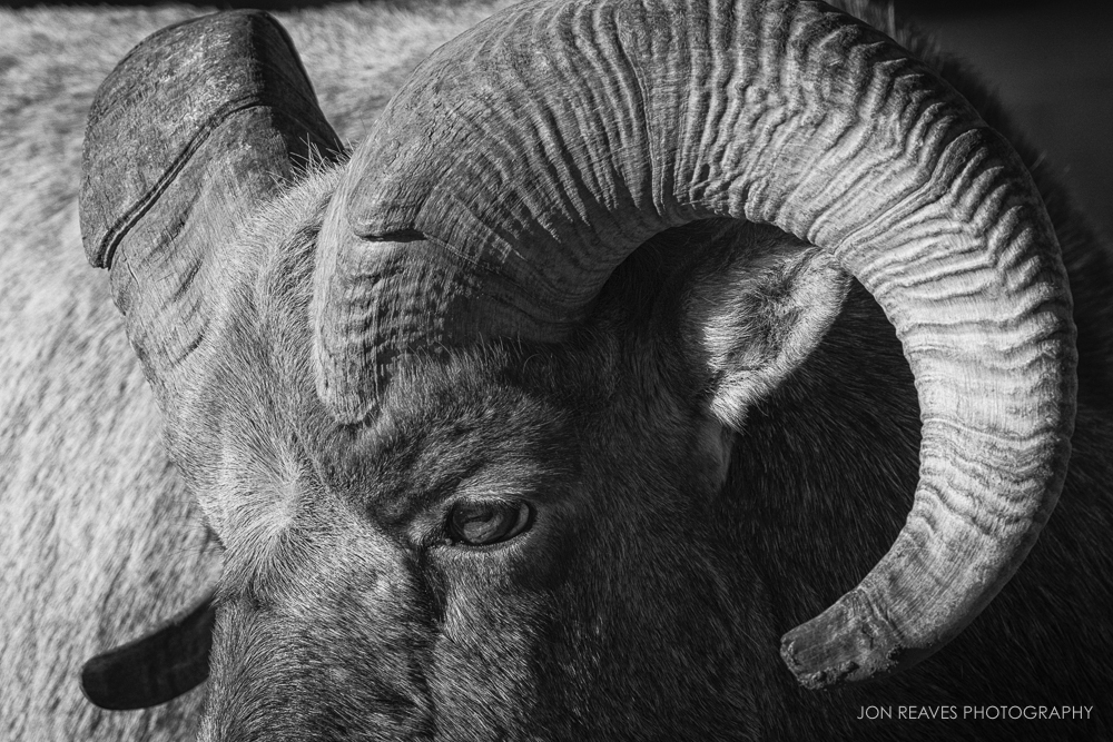 Bighorn Ram close up, Jasper National Park
