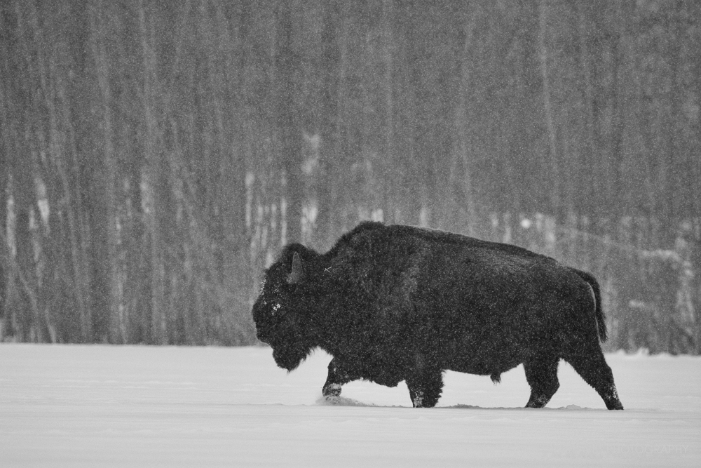 Bison in Blizzard, Elk Island National Park