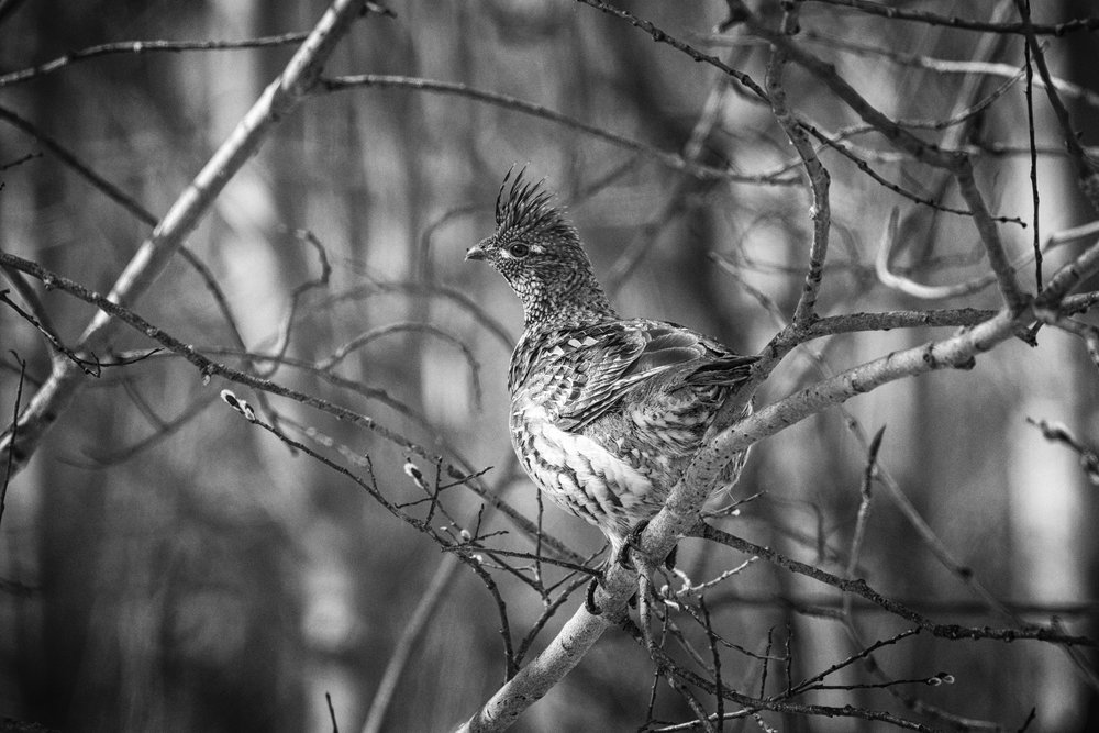 Ruffed Grouse, Elk Island National Park, Canada