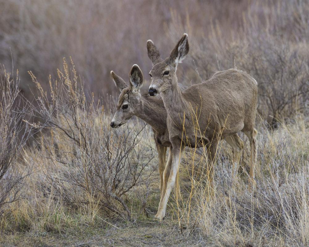 Mule deer, Dinosaur Provincial Park