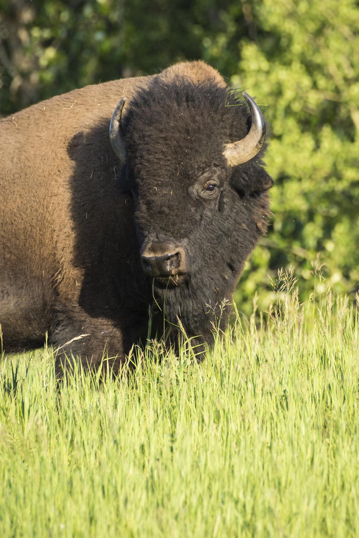 Bison, Elk Island National Park