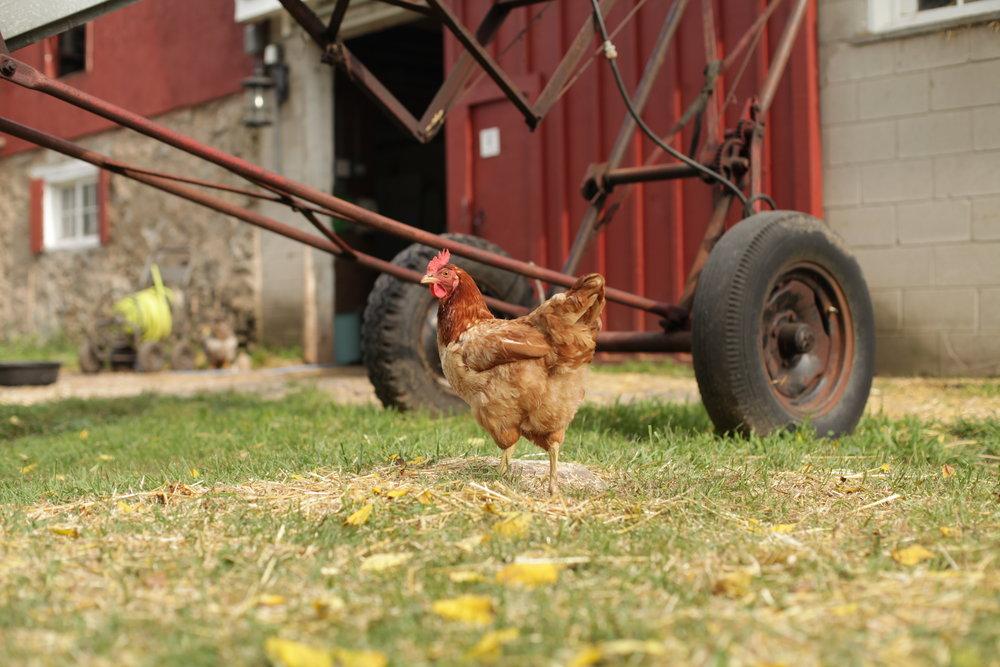 Shelly - chicken