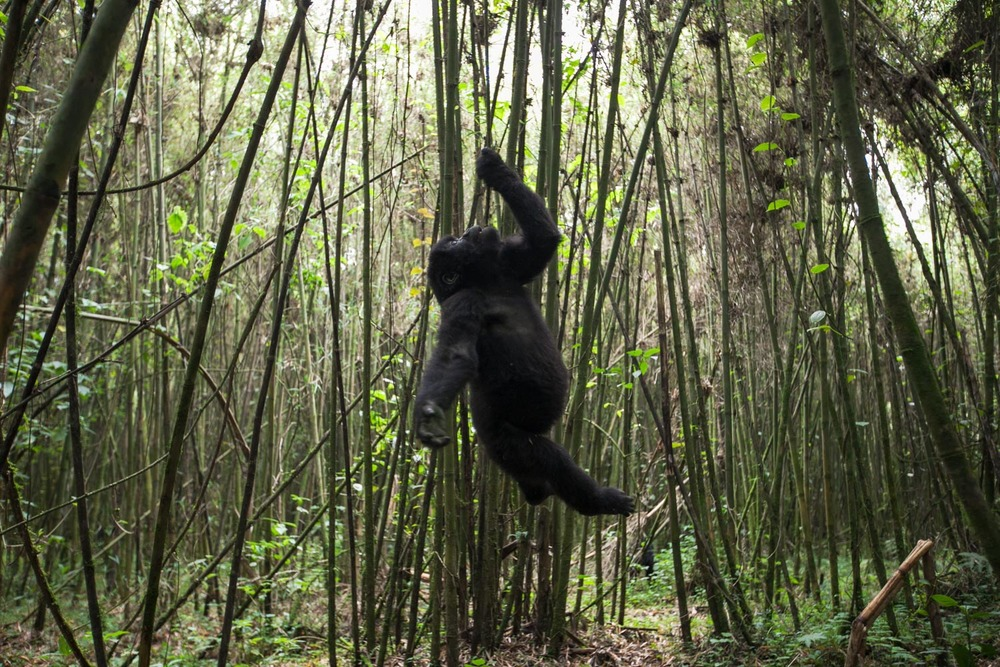 Using its mouth, teeth and hand, a young mountain gorilla hangs from a vine in the bamboo-covered forest within Rwanda's Volcanoes National Park.