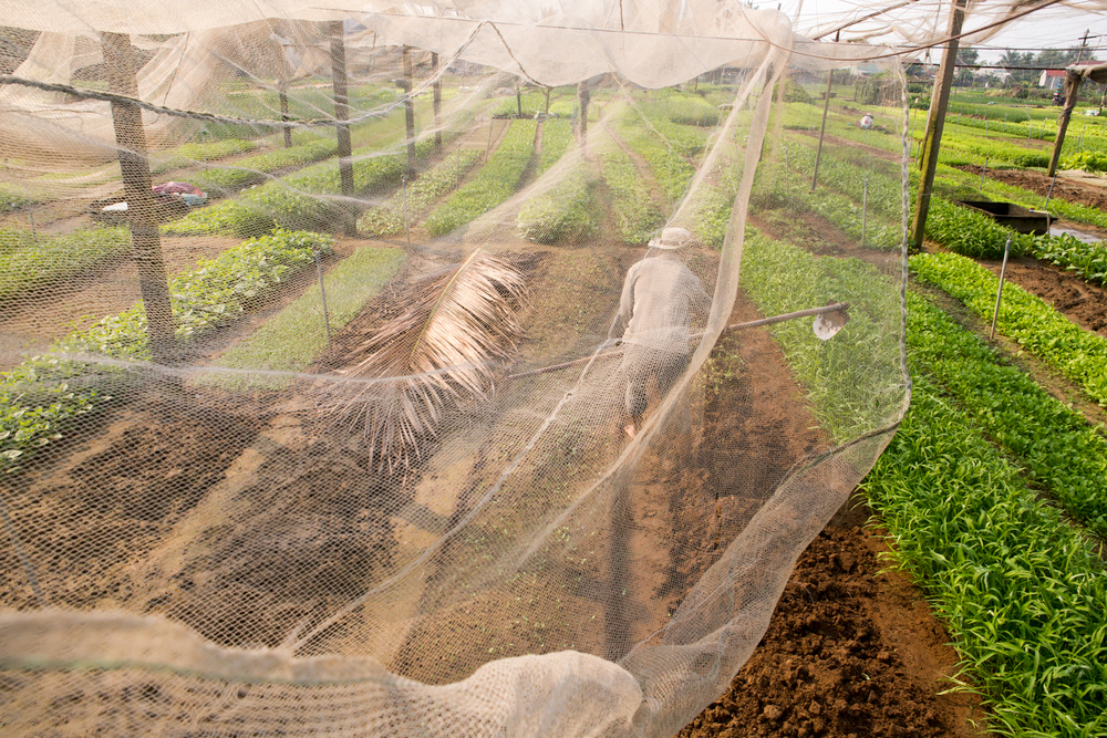 In a Hoi An village, a man tends to his crop under a netting canopy.