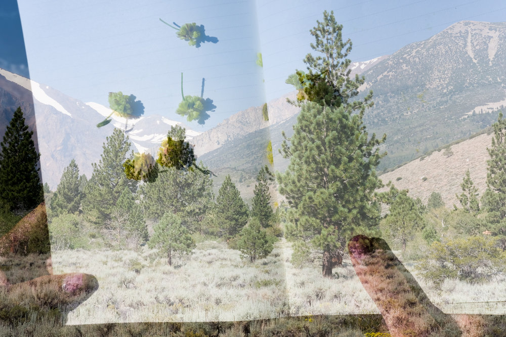 A double exposure - the INYO National Forest along Parker Lake Trail and flowers saved in a notebook.