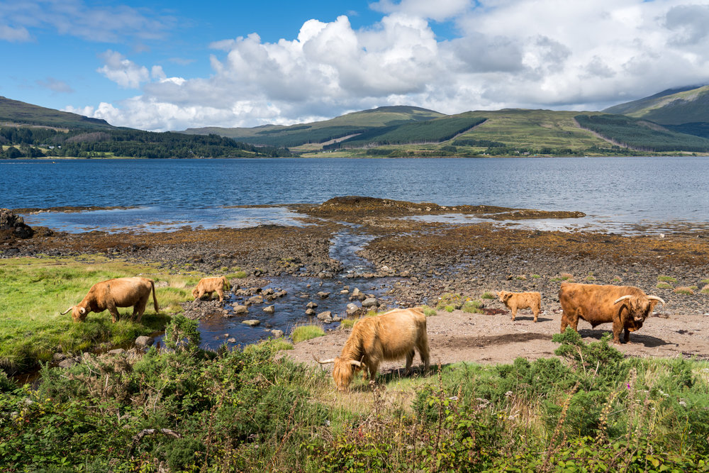 A herd of Highland Cattle roam the shoreline along the Isle of Mull, Scotland.