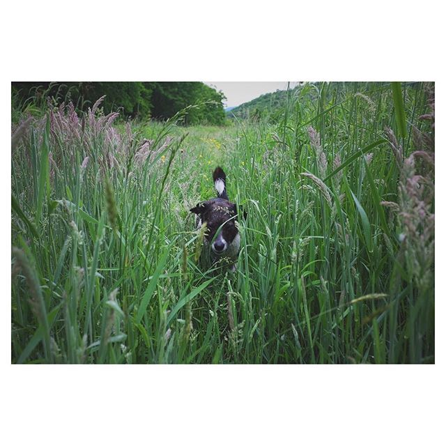#tbt to tall grass and curious snouts #vermontlife