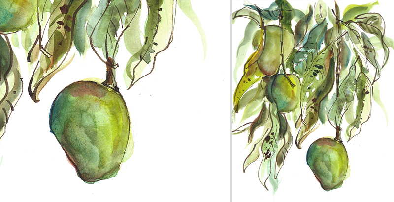 GREEN MANGOS ON TREE,   INDIA,   watercolor, pen & ink