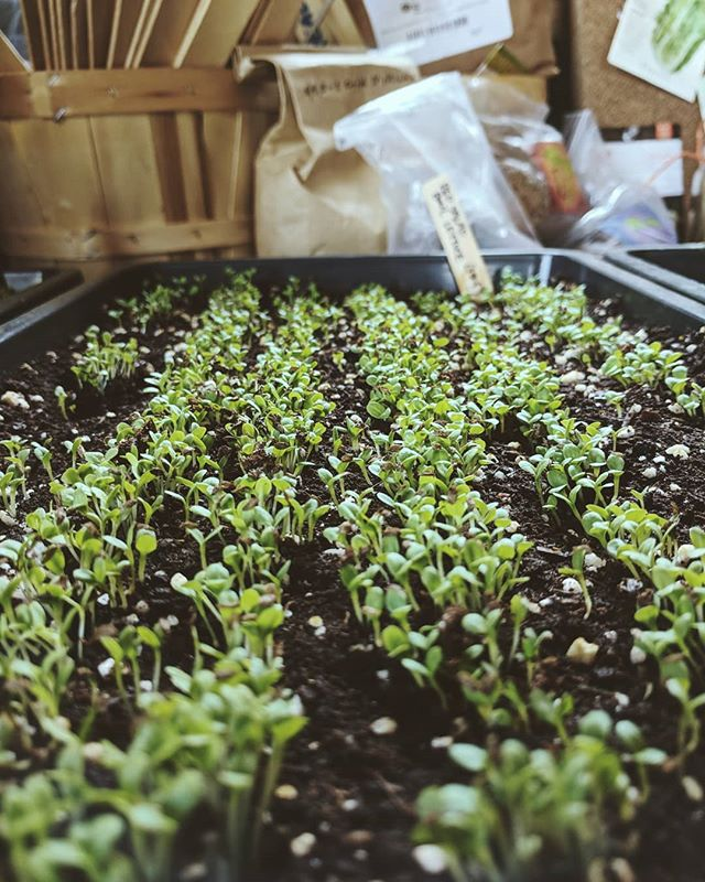 They grow up so fast. 😍 #microgreens #rooftopgardening #nyc #nycrooftop #urbangarden