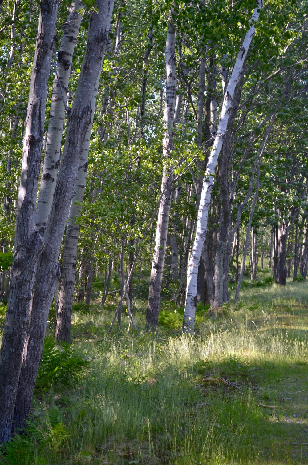 Birch groves are everywhere in the park