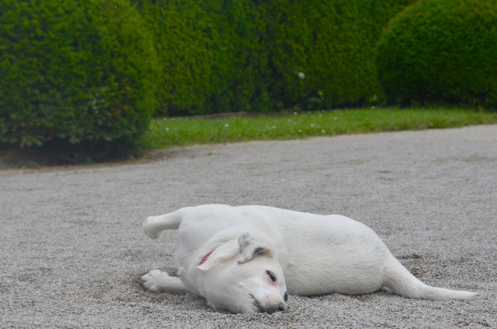 We found this rascal rolling in the pebbles of the royal gardens in Cesky Krumlov.