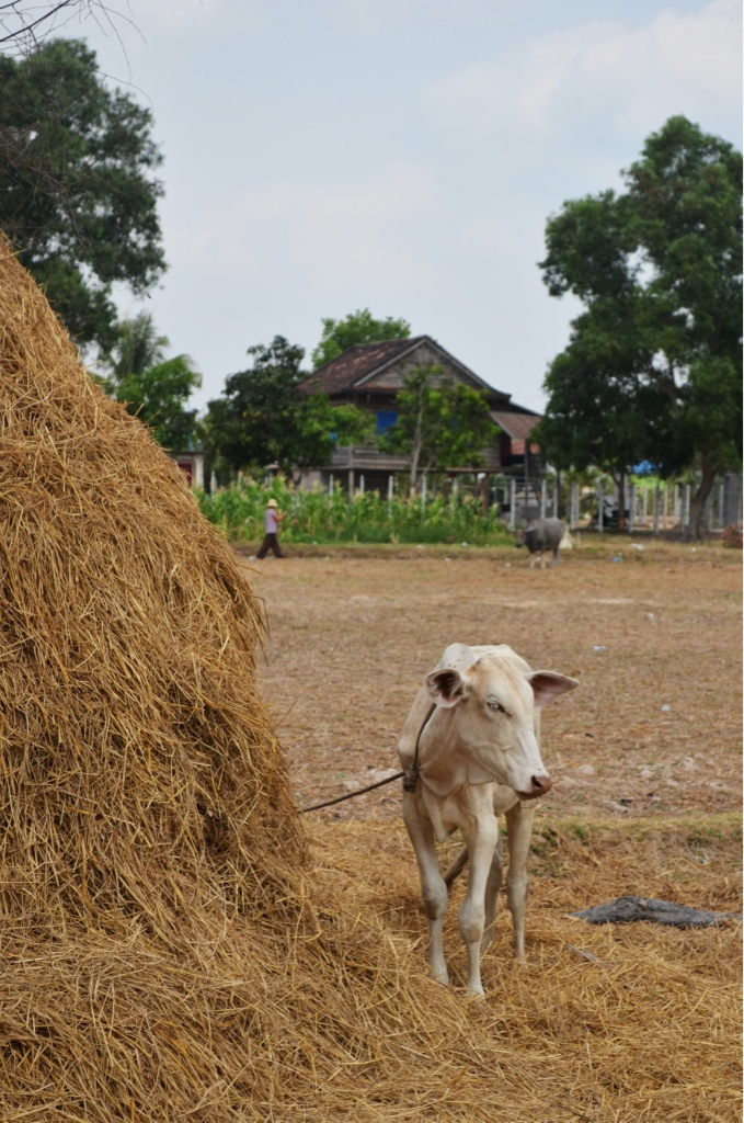 A very thoughtful cow in Cambodia...