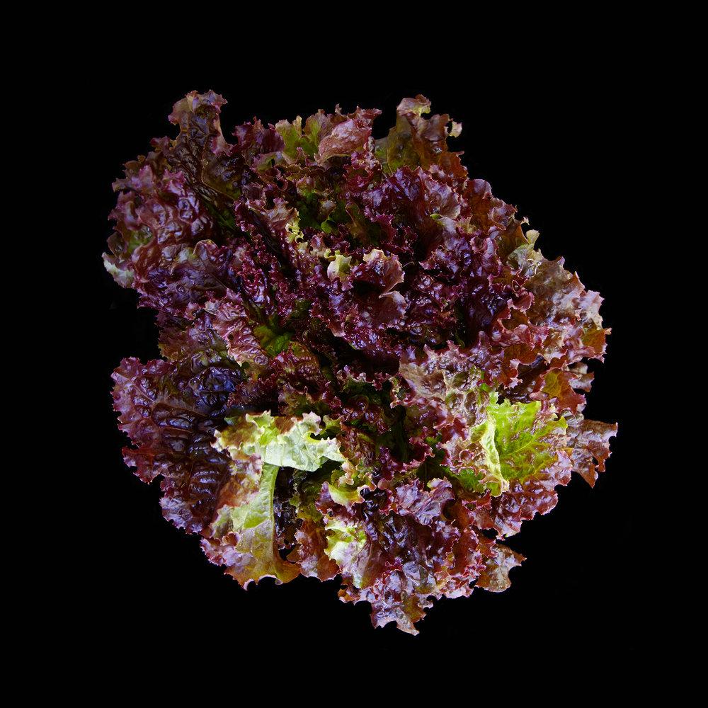 LETTUCE-RED-LEAF 01 ORGANIC-VEGETABLE-FOOD-FORT-HILL-FARM--©-JONATHAN-R.-BECKERMAN-PHOTOGRAPHY.jpg