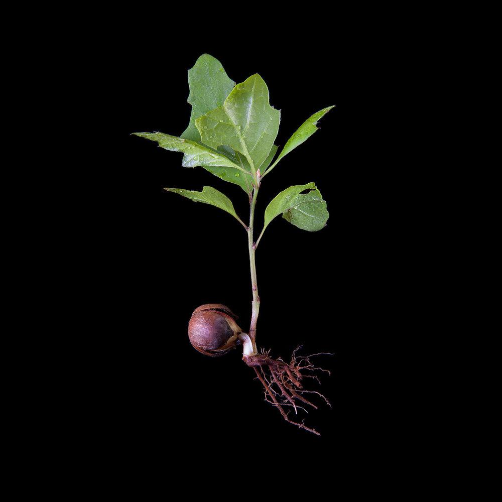 RED-OAK-TREE-SPROUT-CT-062714-©-JONATHAN-R.-BECKERMAN-PHOTOGRAPHY-7.jpg