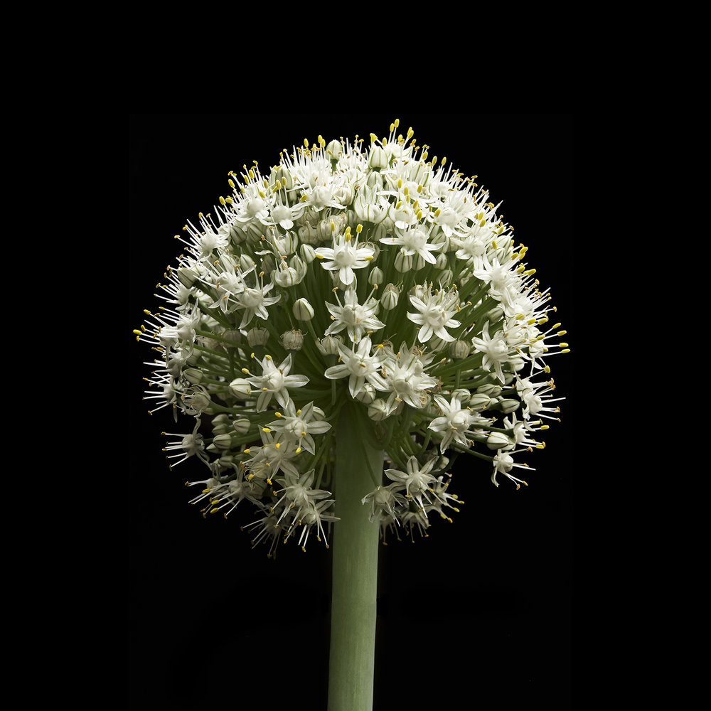 ONION-ALLIUM-FLOWER-ORGANIC-©-JONATHAN-R.-BECKERMAN-PHOTOGRAPHY-071314.jpg