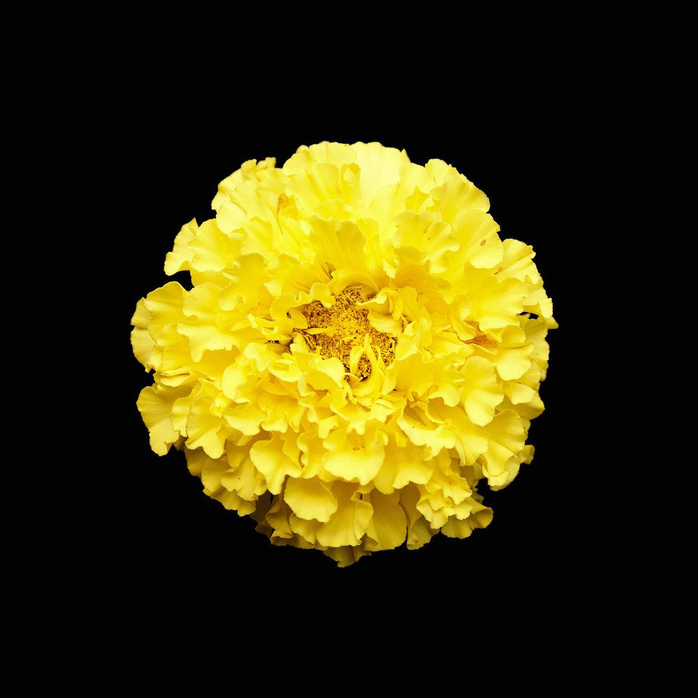 FLOWER-YELLOW-ORGANIC-©-JONATHAN-R.-BECKERMAN-PHOTOGRAPHY.jpg