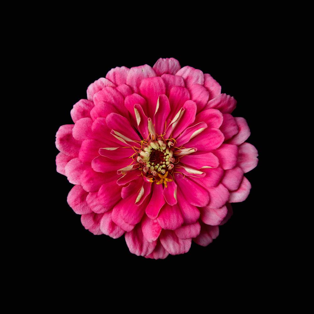 FLOWER ZINIA-PUPPLE-ORGANIC-©-JONATHAN-R.-BECKERMAN-PHOTOGRAPHY.jpg