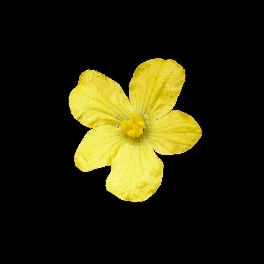 WATERMELON-FLOWER 02 ORGANIC-FRUIT-FLOWER-©-JONATHAN-R.-BECKERMAN-PHOTOGRAPHY.jpg