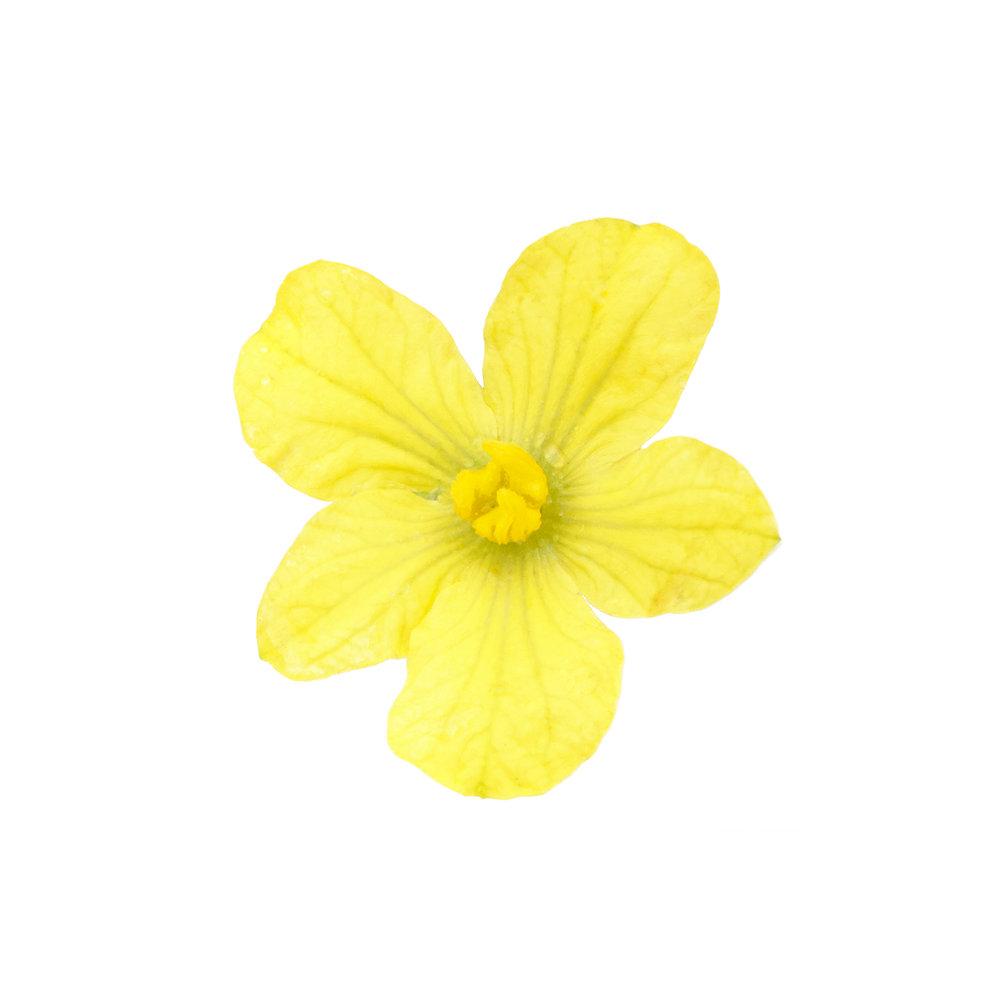 WATERMELON-FLOWER-ORGANIC-FRUIT-FLOWER-©-JONATHAN-R.-BECKERMAN-PHOTOGRAPHY.jpg