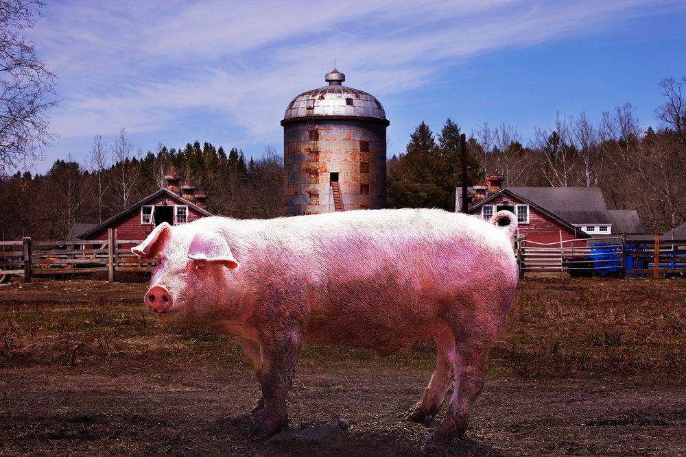 PIG-OX-HOLLOW-FARM-©-JONATHAN-R.-BECKERMAN-PHOTOGRAPHY-041615.jpg
