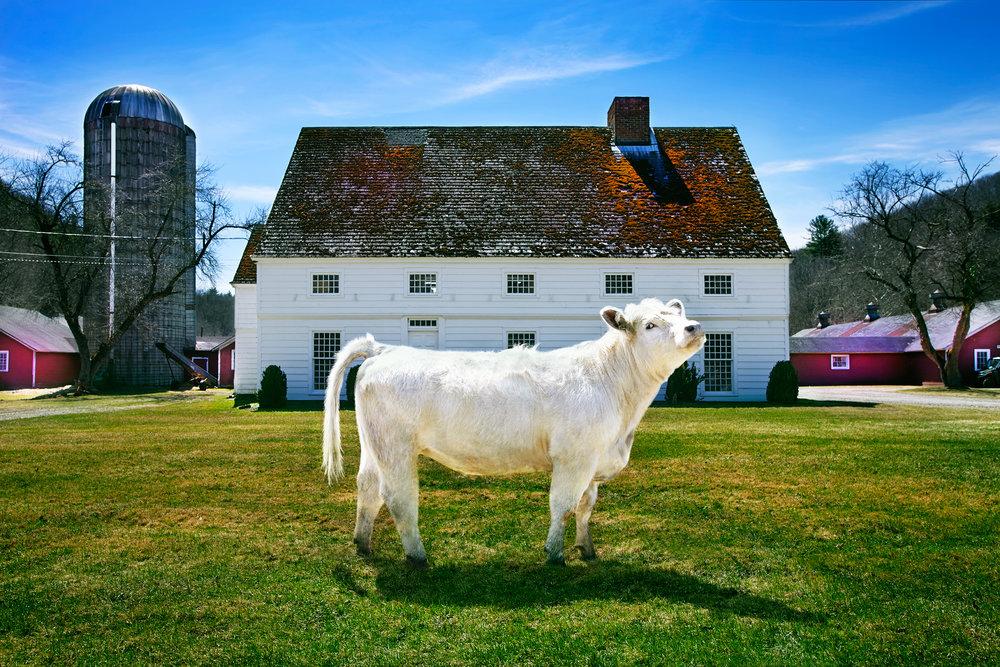 OX-ANGUS-HOLLOW-FARM-ROXBURY-CT-©-JONATHAN-R.-BECKERMAN-PHOTOGRAPHY-01-041615.jpg