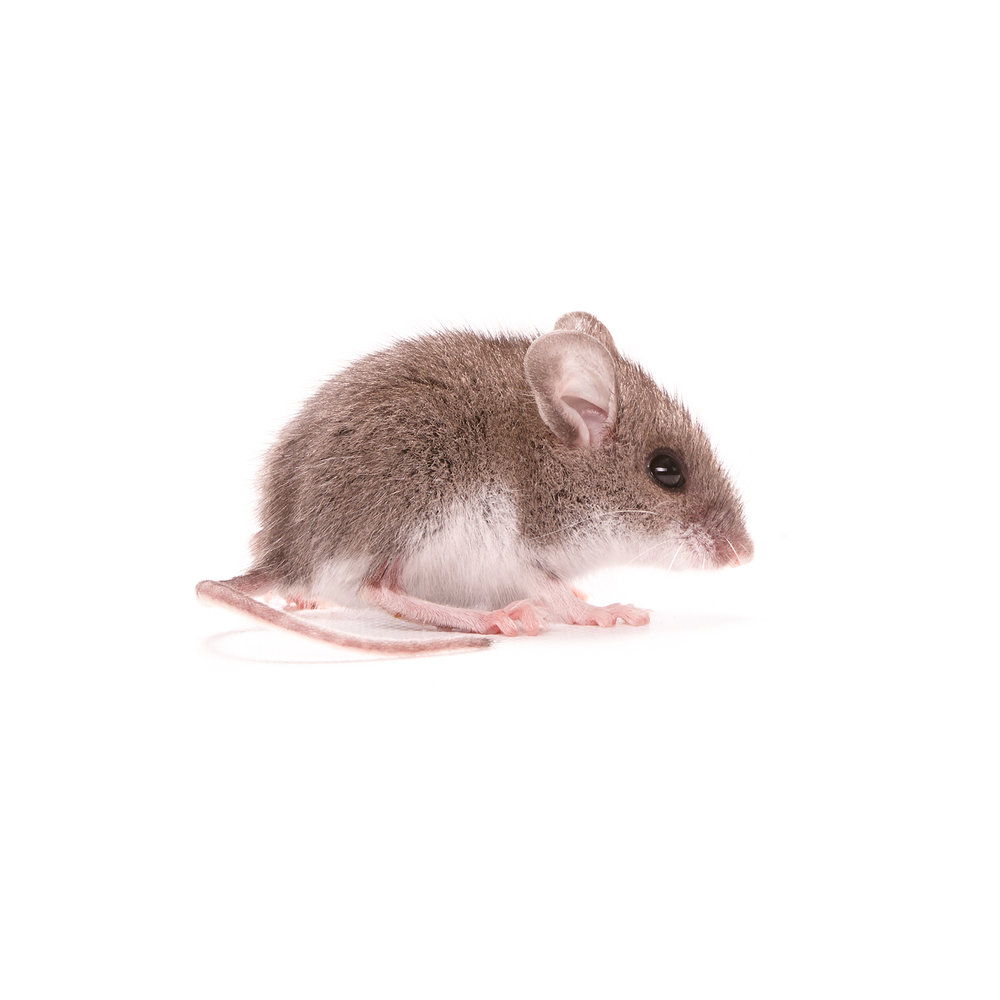 MOUSE-IN-THE-HOUSE-NATURE-RODENT-©-JONATHAN-R.-BECKERMAN-PHOTOGRAPHY.jpg