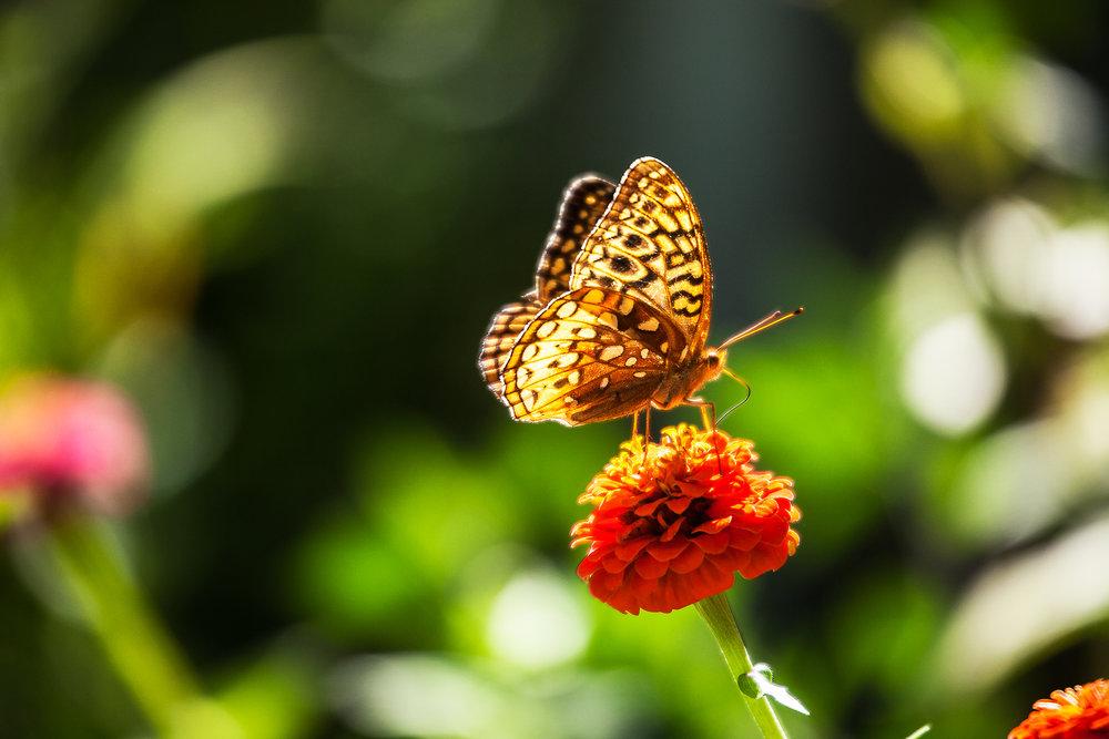 BUTTERFLY-IN-THE-SUMMER--ZINNIA-FLOWER-GARDEN-01-©-JONATHAN-R.-BECKERMAN-PHOTOGRAPHY.jpg