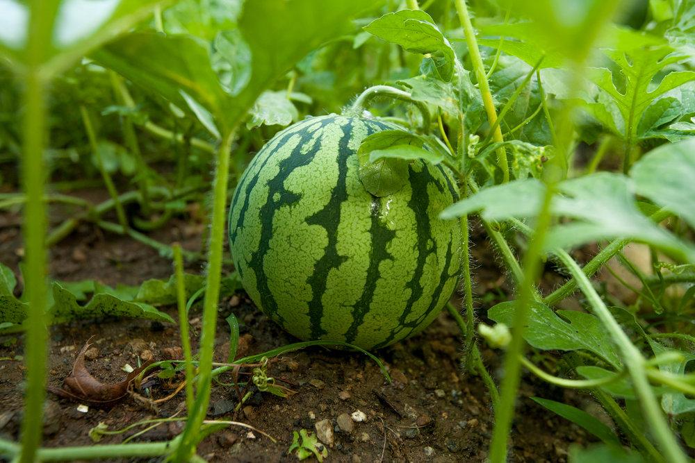 GARDEN-AT-SACRED-GROUND-FARM-WATERMELON-080114-©-JONATHAN-R.-BECKERMAN-PHOTOGRAPHY-39.jpg