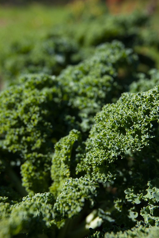 KALE-WINVIAN-FARM-CT-GARDEN-LANDSCAPE-©-JONATHAN-R.-BECKERMAN-PHOTOGRAPHY-100715_-565.jpg