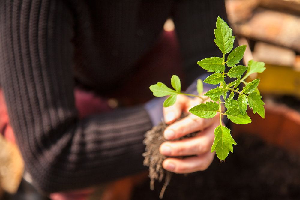 TOMATO-PLANT-WILTSHIRE-FARM-040812-©-JONATHAN-R.-BECKERMAN-PHOTOGRAPHY.jpg