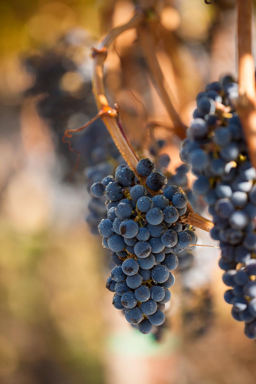 WINE-GRAPES-ON-THE-VINYARD-VINE-NAPA-VALLEY-JONATHAN-BECKERMAN-PHOTOGRAPY_004.jpg