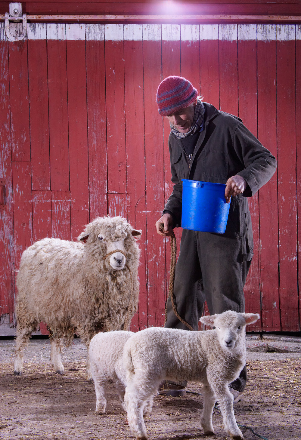 CHRIS HOPKINS WITH ROMNEY SHEEP AT STONEWALL DAIRY FARM © JONATHAN R. BECKERMAN PHOTOGRAPHY.JPG