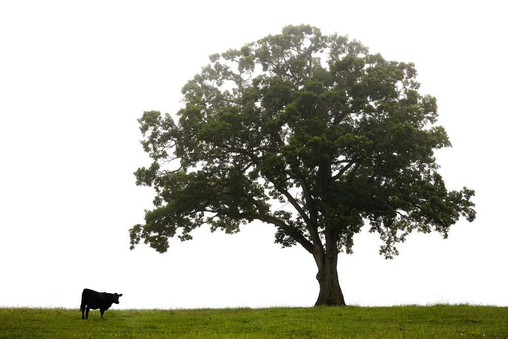 COW-IN-FIELD-WITH-TREE-Ct-AGRICULTURAL-FARM-LANDSCAPE-060516-G-©-JONATHAN-R.-BECKERMAN-PHOTOGRAPHY.jpg