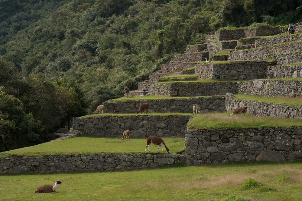 Terraces behind the House of the Guardians, and the path toward the Sun Gate Trail. Llamas are grazing on many of the terraces.