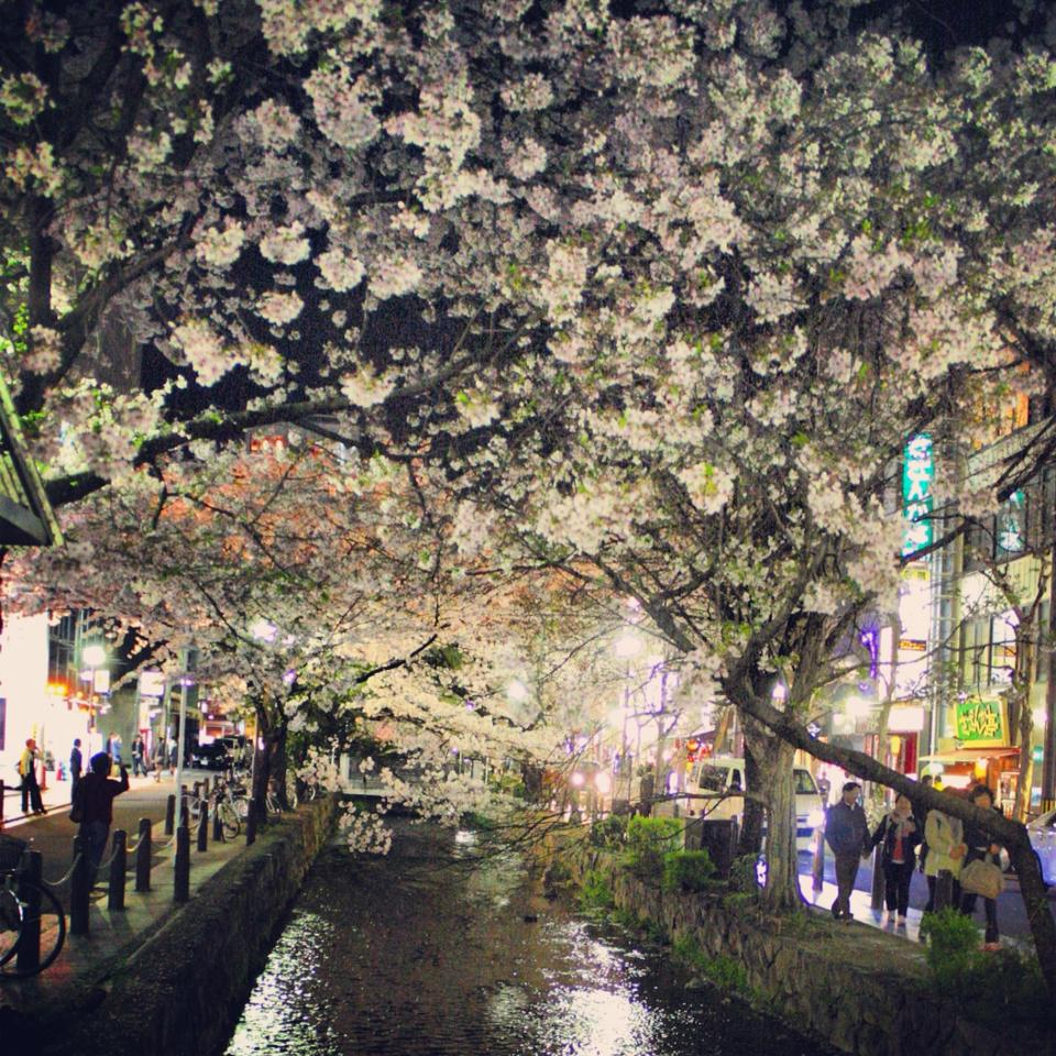 Cherry Blossoms over a canal