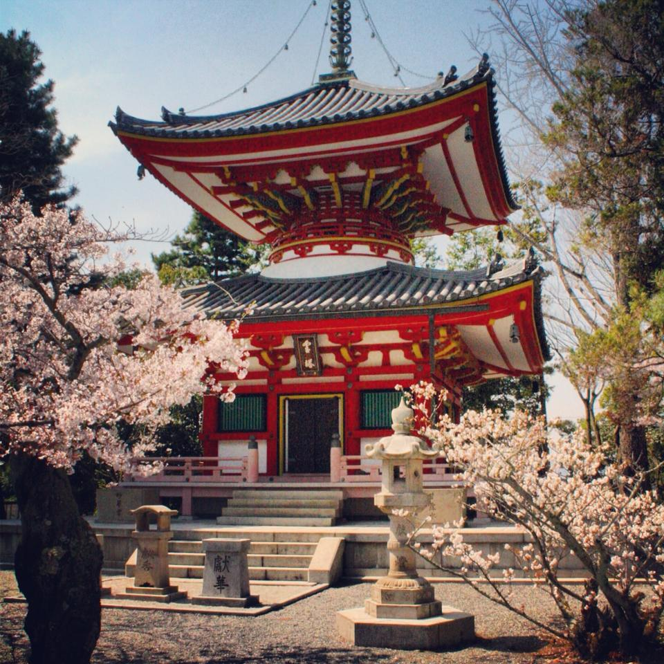 A temple & cherry blossom's in Kyoto