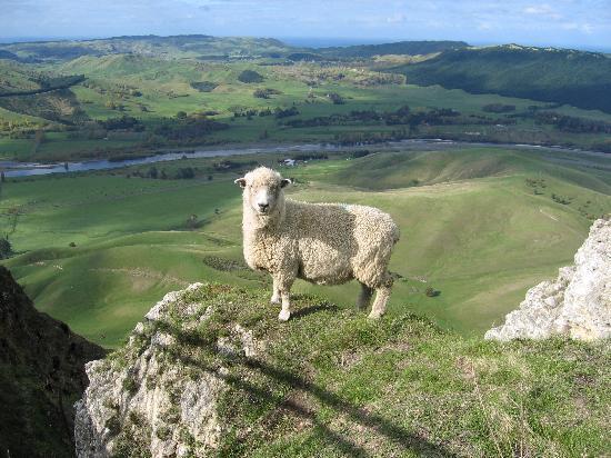Hey, look!  A sheep!