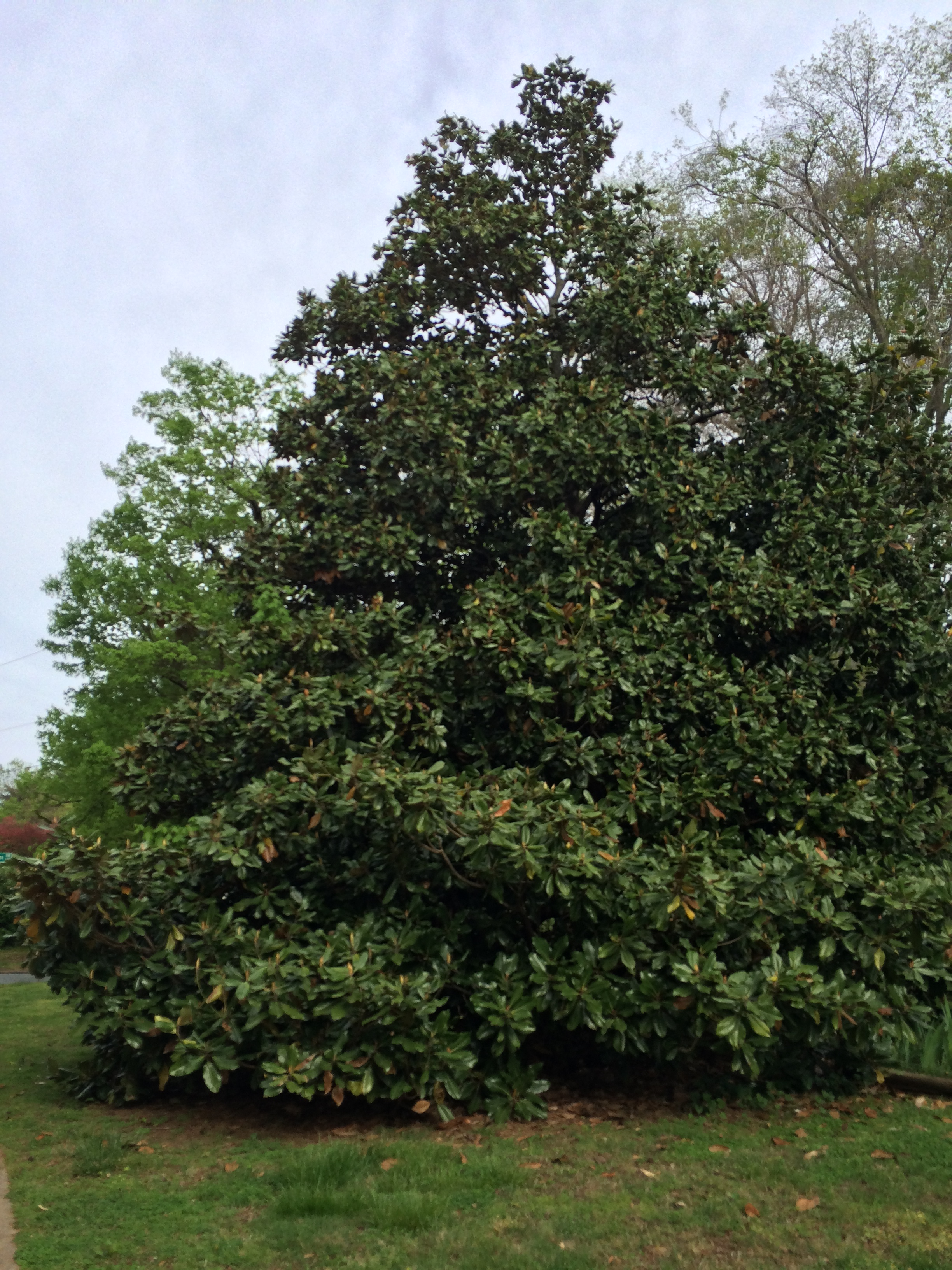 magnolia trees (I think)...
