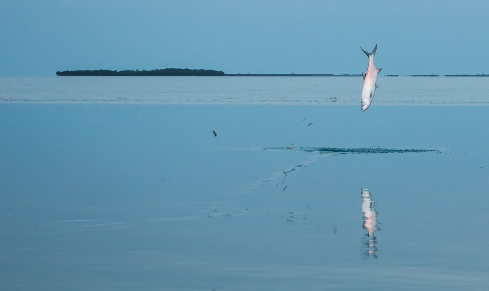 Tarpon jumping, hooked on a Hogy Lure