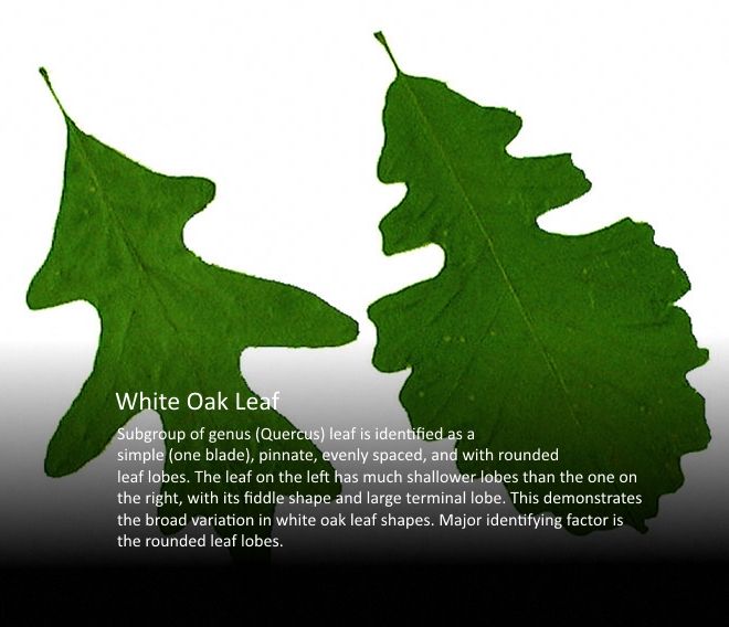 White Oak Leaf v2.jpg