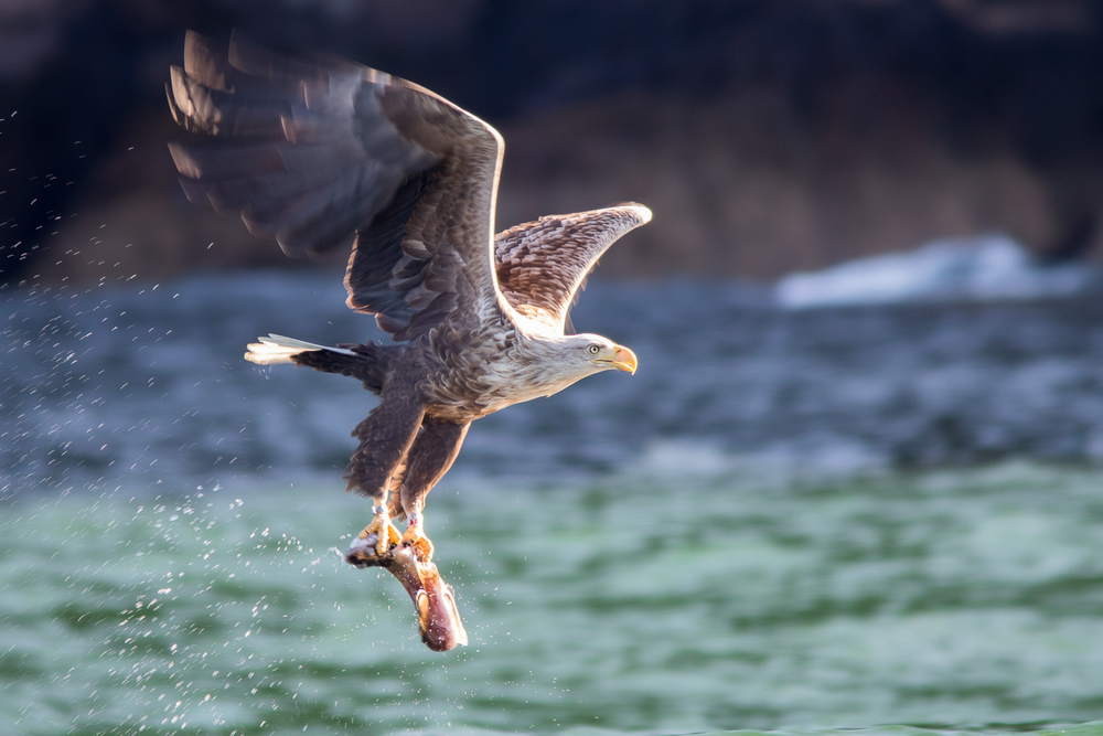 White-tailed Eagle Snatches a Fish From the Water