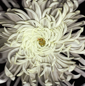 spidermum+A.jpg