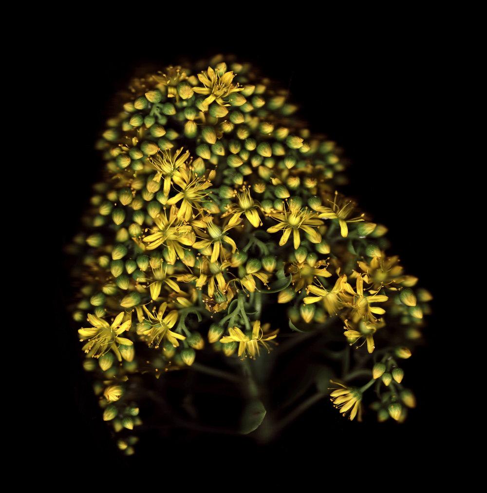 yellow succulent Finalcopy.jpg
