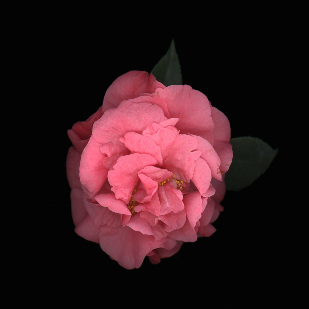 pink camillia-300 Final copyTEST:website.jpeg