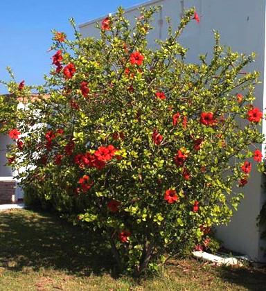 Hibiscus rosa-sinensis Scarlet Giant.jpg