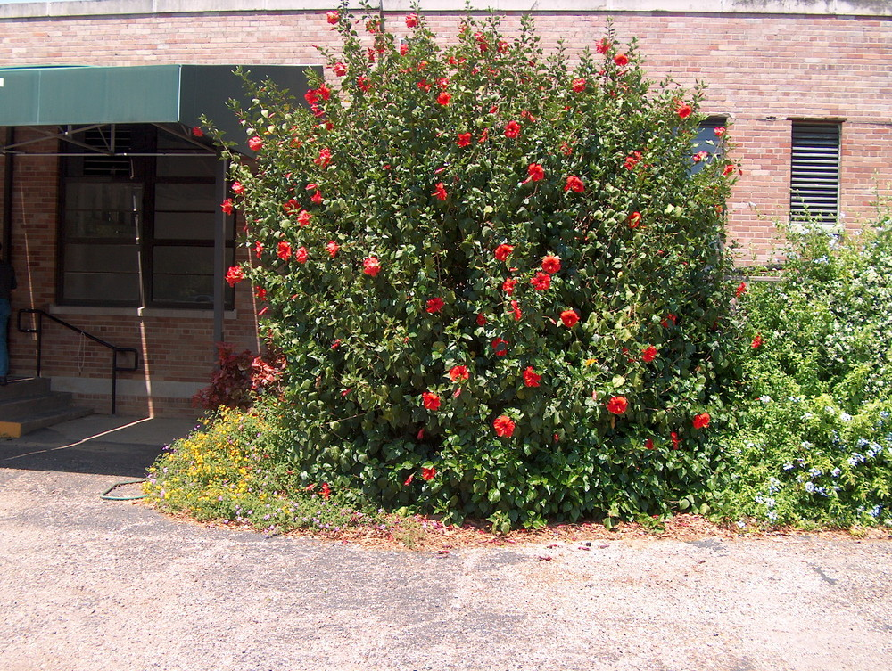 Why Exotic Hibiscus Are The Perfect Plant For A Drought Tolerant