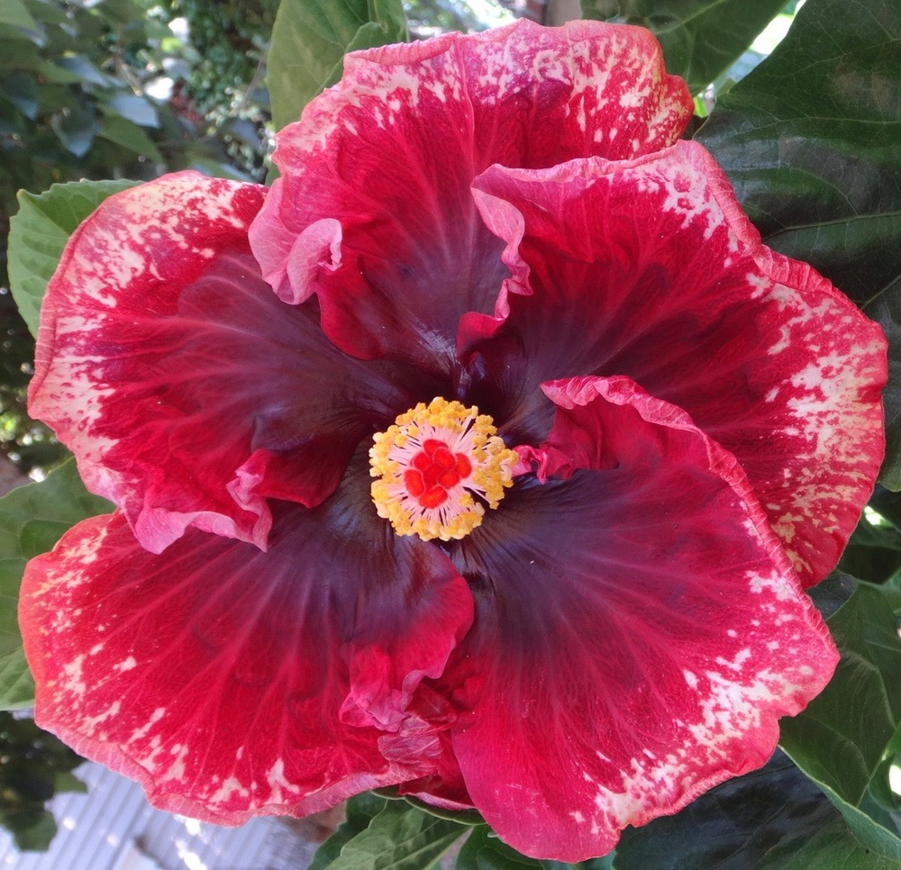 Why exotic hibiscus are the perfect plant for a drought tolerant huge blooms means 7 10 diameter flowers no other plant can produce such large flowers izmirmasajfo