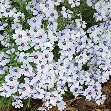 Creeping Phlox,  Source