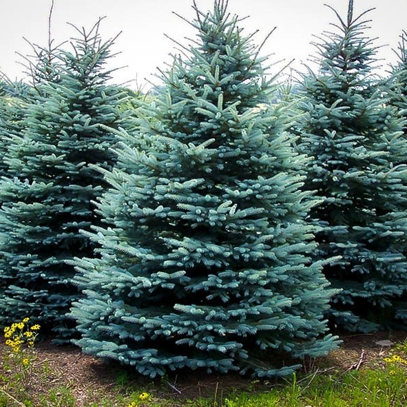 Baby Blue Spruce,  Source